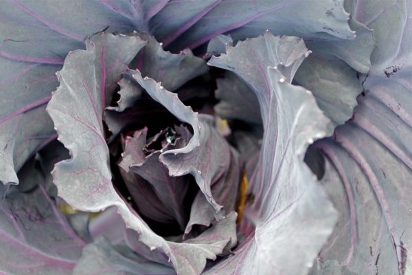 Lowder Mill – Red Drumhead Cabbage37